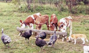 farm animal feasting