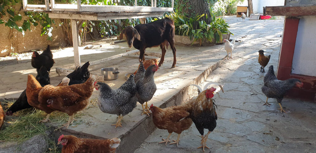 Rescued chickens, goat of Tea Cup Rescue