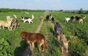 Romanian rescue dogs roaming on the green grass field.