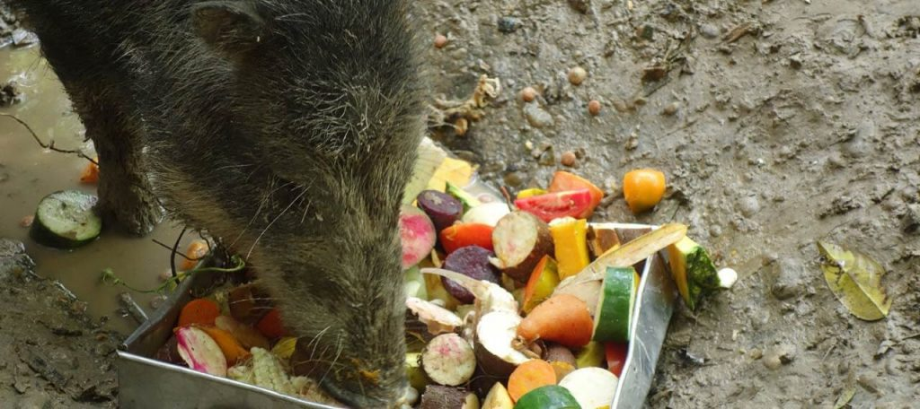 Amazon rescue shelter, a wild hog eating vegetables and fruits.