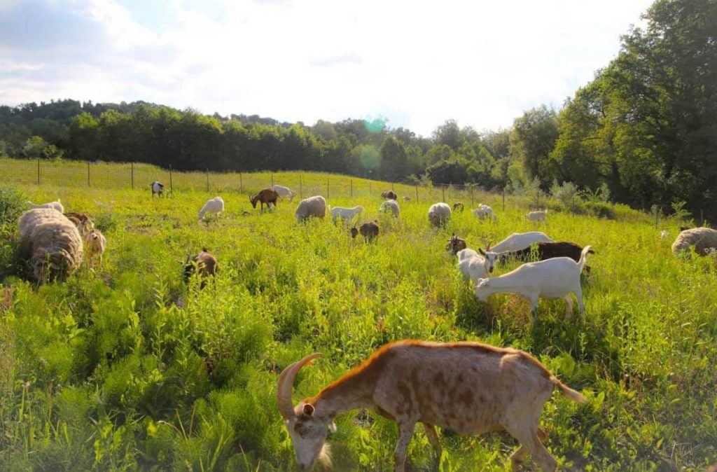 Goats and sheep roam in the green pasture.