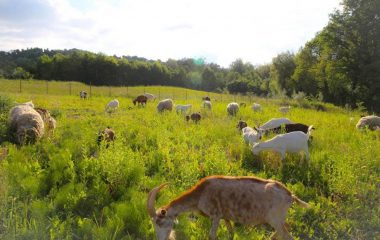 Sheep and Goats and Cows, Oh My!