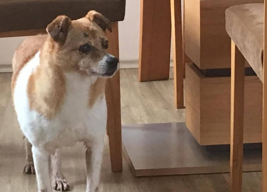 Romanian rescue dog at their forever family home.