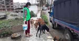Rescuer feeding street dogs of Nepal